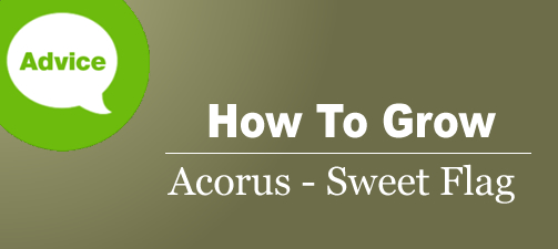 How To Plant, Grow And Care For Acorus Sweet Flag Plants
